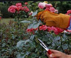 6 Tips για τη φροντίδα και το κλάδεμα της τριανταφυλλιάς! | exypnes-idees.gr Pruning Climbing Roses, Pruning Roses, Exotic Flowers, Purple Flowers, White Flowers, Beautiful Flowers, When To Prune Roses, Rose Hedge, Floribunda Roses