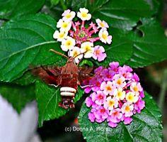 Nessus Sphinx Moth and Lantana