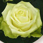 Aida - Rose Standard - Roses - Fleurs par catégorie | Sierra Flower Finder