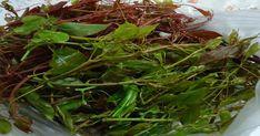 Ordu'da 'melocan' olarak adlandırılan ve yöresel yemek olan diken ucu bitkisinin frengi hastalığını tedavi ettiği ve kanı temizlediği belirtildi. Ordu Üniversitesi Ziraat Fakültesi tarafından yapılan 'Ordu yöresinde doğal olarak yetişen tıbbi ve aromatik bitkilerin kullanım alanları' Seaweed Salad, Ethnic Recipes