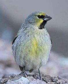 Yellow-bridled finch (Melanodera xanthogramma barrosi) by pablo_caceres_c