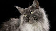 http://www.vocerealmentesabia.com/2013/02/os-gatos-que-valem-ouro.html  Conhecido como gigante gentil, o Maine Coon é nativo do continente americano. Os gatos da raça são de grande porte e podem pesar mais de oito quilos. Possuem pêlo longo, são inteligentes e muito devotos aos seus donos. Seus filhotes custam entre 1.000 e 2.000 dólares.