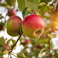 Where to Go Apple Picking Near NYC This Fall