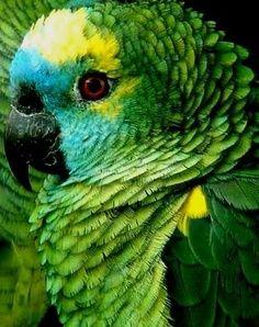Papagaio-Amazônia - Brasil.