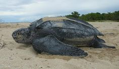 The giant leatherback sea turtle, Dermochelys coriacea, is the biggest turtle species still in the world. They are a giant amongst most other modern reptiles, the only ones bigger are three of the … Animal Species, Endangered Species, Leatherback Turtle Mouth, Reptiles, Sea Turtle Facts, Sea Turtles, Thailand Beach, Sea Turtle Species, Largest Sea Turtle
