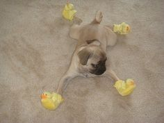 Mr. Pug is chillin' with his ducky slippers