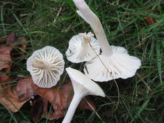 Snowy Waxcaps // See my wild food blog here: http://goingwildforaging.blogspot.co.uk