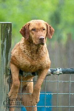 Chesapeake Bay Retriever (by Beth Adams)