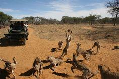 harnas namibia - Google zoeken