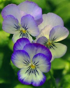 .lavender and purple pansies