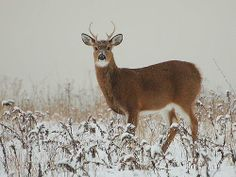 white tail buck with some new antler growth
