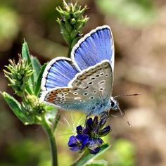 papillon - Google Search