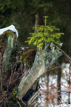 Bio transmission - Young fir tree grows up on a old trunk.