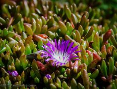 Purple Dewplant - Lizard Point, Cornwall, England, UK