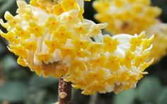 A cousin of Winter Daphne, Edgeworthia chrysantha, also known as Paper Bush, has to be one of our favorite plants in our gardens. Cotton Candy Grass, Edgeworthia Chrysantha, Fast Growing Shrubs, Buy Plants Online, Garden Show, Flowering Shrubs, Spring Blooms, Ornamental Grasses, Botanical Gardens
