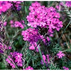 Verbena is a butterfly magnet.  I really love growing in containers or in my rock garden.  click photo to learn how to grow