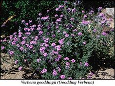 Goodding's Verbena ANNUAL/ Verbena gooddingii /                             Mature Size:     1' h x 3' w/      Flower Color:     Lavender to pink clusters/                        Flower Season:     spring/     Attracts Wildlife:     butterflies