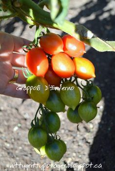 Grappoli D'Inverno Heirloom Tomato - The Nitty Gritty Potager