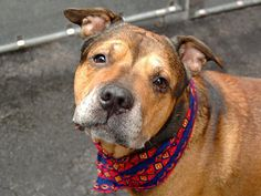 GONE 5/3/16 due cancer -Rest in peace love -- SAFE 10/24/14 --- Manhattan Center   BULLWINKLE - A1016915   MALE, BROWN / BLACK, GERM SHEPHERD / PIT BULL, 7 yrs OWNER SUR - EVALUATE, HOLD FOR ID Reason NO TIME  Intake condition GERIATRIC Intake Date 10/09/2014, From OUT OF NYC, DueOut Date 10/09/2014,   https://www.facebook.com/photo.php?fbid=887488564597357