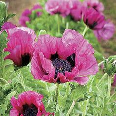 oriental poppies: Plum Pudding Oriental Poppy