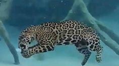 Jaguares pueden cazar bajo el agua durante 30 segundos [VIDEO]