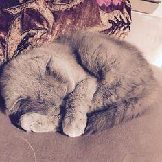 Cat naps... ❤️ #meecheebomb #meechie #purplecat #lilaccat #catsofinstagram #scottishfold #snuggles #roundround
