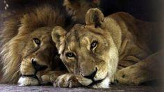 Una leona argentina y un viejo macho de un zoo paraguayo, solo desde hace 15 años. (AP) Lean la nota