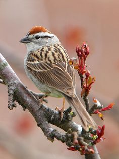 Chipping Sparrow in a Flowering Crab by Jeff Dyck I found one of these feasting on some Dandelion seeds <3