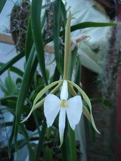 Grupo Orquideófilo del Norte Santafesino: Epidendrum parkinsonianum