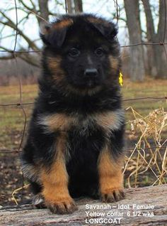 We specialize in German Shepherd litters of Puppies for sale for Family, companionship or working dog and we can ship our German shepherd litters of puppies for sale and our German Shepherd adult dogs for sale worldwide.