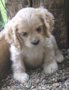 Blond American Cocker Spaniel...looks like my baby girl as a puppy