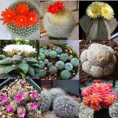 10pc Raro Mixed Sementes Suculenta Cacto Prickly Pear Orgânico Casa Jardim Plantas