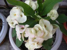 Euphorbia Milii 'White Dragon' (Crown Of Thorns 'White Dragon') Front Door Christmas Decorations, Garden Sprinklers, Euphorbia Milii, Identify Plant, Dragons Crown, Mother Plant, Crown Of Thorns, White Dragon, Yellow Leaves