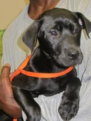 Kennel 30 (2 female, 1 male) is an adoptable Labrador Retriever Dog in LaGrange, GA.  ...