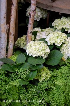 Hydrangeas and Maidenhair fern...other than roses, doesn't get any better than this...
