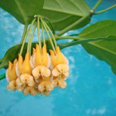 Hoya lasiantha 'Sepilock' $$$$$ IML 1766 [1766] - $30.00 : Hoya Plants and Cuttings