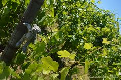 Carlo & Julian Vineyard in Carlton, Oregon Carlton Oregon, Have You Ever, What Is Life About, Vineyard, Day, Plants, Garden, Travel, Voyage