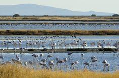 TRAVEL'IN GREECE I Flocks of flamingos, #Lesvos, #Greece