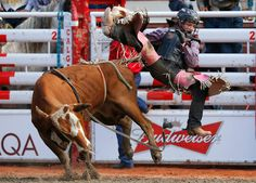 Ryder Wright gets thrown off a steer in the junior steer riding event during the 101st Calgary Stampede rodeo in Calgary, Alberta, July 7, 2013. REUTERS/Todd Korol