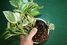 Repotting houseplant-3