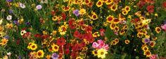 Wer nicht viel Zeit hat zur Gartenpflege, benötigt robuste Gartenpflanzen. Sie nehmen Fehler bei der Pflege nicht übel und gedeihen fast immer.