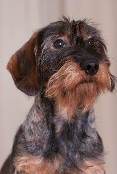 sweet wire haired dachshund