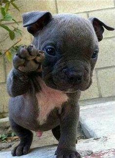 Pit bull pups warm my heart ❤❤❤