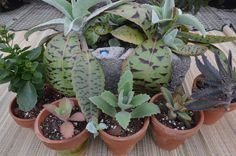 kalanchoe collection. not cold hardy most will die at 32 F