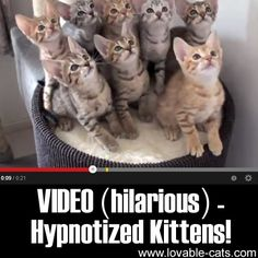 VIDEO (hilarious): Hypnotized Kittens! ►► http://lovable-cats.com/video-hilarious-hypnotized-kittens/?i=p