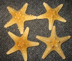 Long spine Starfishes