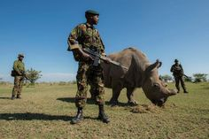 Rangers stand guard over a rhinoceros is South Africa. Photo: Air Shepherd