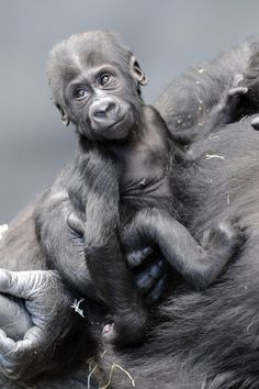 The Chicago Zoological Society is asking for the public's help in selecting a name for the Brookfield Zoo's 4-month-old baby gorilla that sh...
