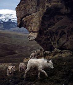 Wolves, photography by Jim Brandenburg