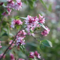 Buy daphne Daphne odora Sweet Amethyst - Highly scented purple-pink flower clusters: pot: Delivery by Crocus Lost Love Spells, Small Shrubs, Garden Shrubs, Black Magic, Garden Projects, Pink Flowers, Amethyst, Purple, Sweet